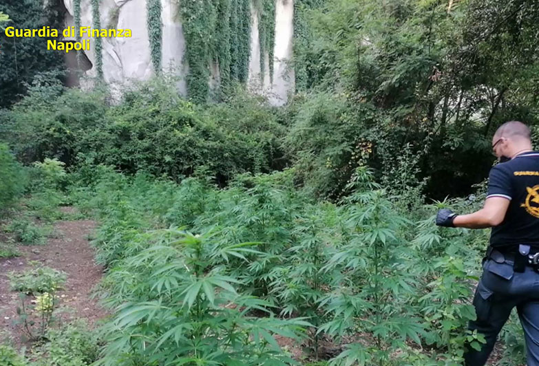 Sequestrate 257 piante di cannabis: 3 arresti.